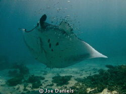 Another one of Coral Bay's majestic Manta's by Joe Daniels