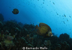 In the pristine waters of Bonaire, a couple courting !! by Bernardo Mello