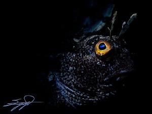Snooted Blenny by Nicholas Samaras