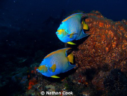 I can never get over the beauty of Queen Angel Fish by Nathan Cook