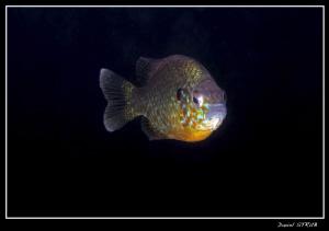Pumkinseed sunfish :-D by Daniel Strub
