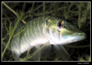 Young pike in a pond close to home :-D by Daniel Strub