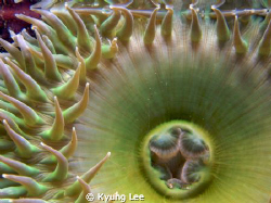 Anemone in tidal pools at Yaquina Head, near Newport, OR,... by Kyung Lee