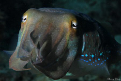 Very friendly cuttlefish posed in front  of my camera for... by Charly Kotnik