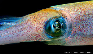 "Squid. It was an 60 min ""photo session"" with this squid. ... by Rico Besserdich"