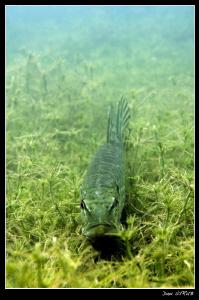 Pike resting on the seegras :-D by Daniel Strub