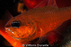 Male of Apogon imberbis with eggs in his mouth by Vittorio Durante