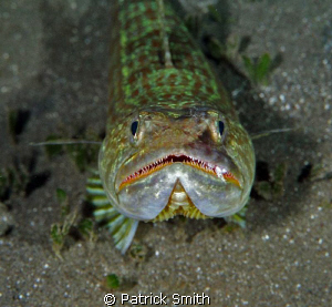 A friendly Lizard Fish on the house reef at The Castle Co... by Patrick Smith