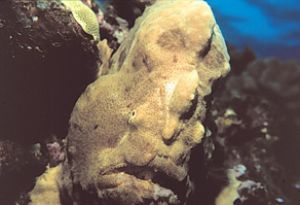Frogfish, or Angler Fish taken off the Big Island of Hawa... by John H. Fields
