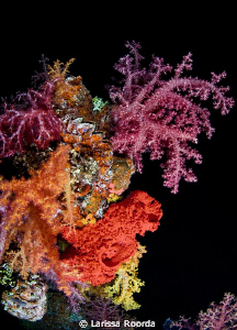 Soft corals at night, Truk Lagoon. by Larissa Roorda