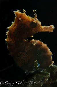 Back lit seahorse at BHB D300 105mm  Off camera strobe ... by George Ordenes