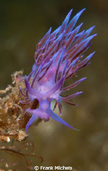 The Beauty  Flabellina Pedata by Frank Michels