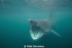 Basking Shark taken whilst snorkelling off the coast of I... by Pete Devereux