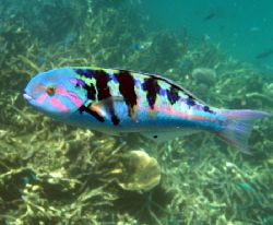 Colourful Wrasse, Ningaloo Reef by Penny Murphy