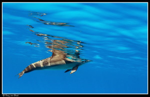 Spinner dolphin. by Dray Van Beeck