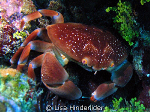 Bat Wing Crab posing pretty! by Lisa Hinderlider