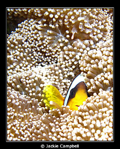 Peek a boo !! I never tire of these little fish.....cute... by Jackie Campbell