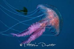 Jellyfish Pelagia noctiluca by Vittorio Durante