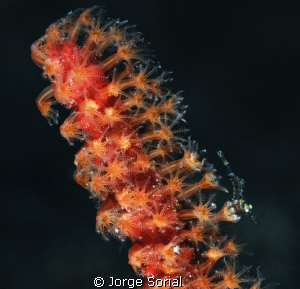Shrimp in a scarlet sea fan by Jorge Sorial