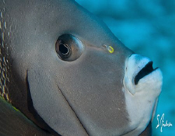 The Grey Angelfish seem to be very friendly and not shy. ... by Steven Anderson