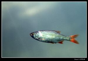 Pearl roach in the Duzillet ! saturda'y dive was just eno... by Daniel Strub