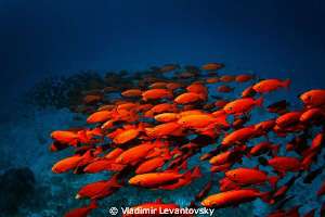 Red snappers' band - a shoal of red snappers stretched in... by Vladimir Levantovsky
