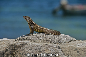A lizard proudly poses atop the coral overlooking Conch P... by Patrick Reardon