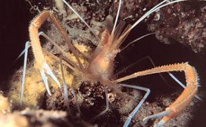 Flame-Back (Ghost) Shrimp taken off the Big Island of Haw... by John H. Fields