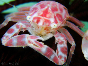 Porcelain Crab Porcellanella sp. underside base black feather star. sp) sp star