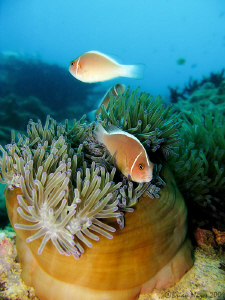 Pink Anemonefish (Amphiprion perideraion) by Brian Mayes