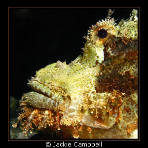 Scorpion fish taken on a night dive on the Barge in the R... by Jackie Campbell