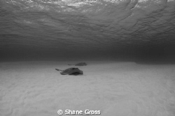 Whiptail rays in Bahamas lagoon by Shane Gross
