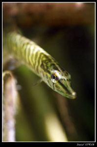 Young pike just below the surface :-D ... natural light by Daniel Strub
