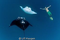 Free diving with mantas scooping up delicious plankton in... by Lill Haugen