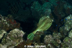 "Trunk fish at the ""Indians"".  Just off the coast of Pelic... by Bruce Campbell"