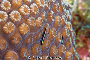 "Sharknose goby on coral.  Love the ""3D"" effect of the cor... by Patrick Reardon"