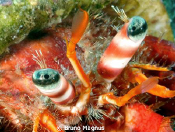 Close up eyes hermit crab. Picture taken in front the coa... by Bruno Magnus