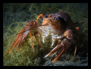 European crayfish by Aleksandr Marinicev