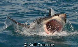 Shark caught near Cape town. Was making photos before div... by Kirill Zinoviev