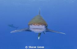 Oceanic Whitetip head on by Shane Gross