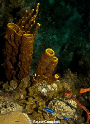 Yellow sponges with blue Chromis by Bruce Campbell