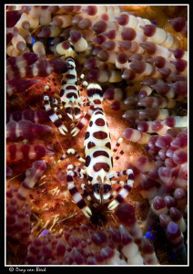 Colemann's shrimps. by Dray Van Beeck