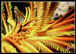 squat lobster on a long arm feather star... by Adriano Trapani