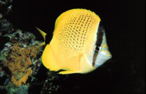 Milletseed Butterflyfish taken off the Big Island of Hawa... by John H. Fields