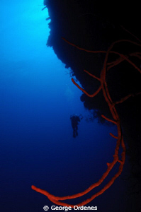 Diver and whip coral on Bloody Bay Wall Little Cayman D3... by George Ordenes