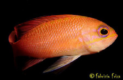 Anthias Mediterranean in its colorful plumage. by Fabrizio Frixa