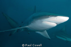 This is a black tip, we were actually there for the tiger... by Paul Cowell