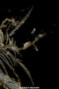Skeleton Shrimps by Patrick Neumann