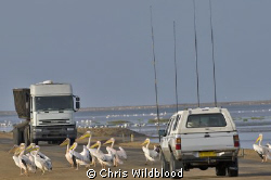 Pelican crossing! by Chris Wildblood