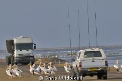 Pelican crossing! by Chris Wildblood